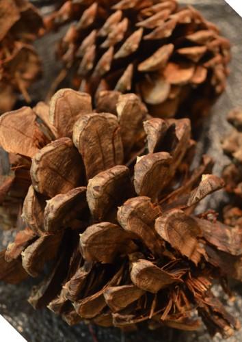 pineconesbefore
